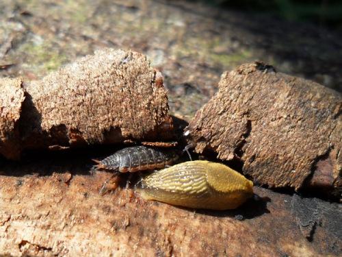 En gråsugga försöker gömma sig bak en märkbart irriterad snigel. Foto: Tomas Bodling