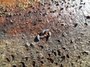 Slemsvamp, ledhoppstjärtar och hoppstjärtsnymfer. Foto: Tomas Bodling