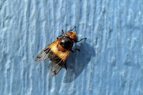 Humleblomfluga. Foto: Tomas Bodling