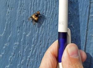 Så här liten är humleblomflugan jämfört med en vanlig penna. Foto: Tomas Bodling