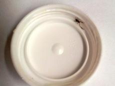 Bokskorpion i locket till en medicinburk, mindre än 2 mm i kroppen. Foto: Tomas Bodling