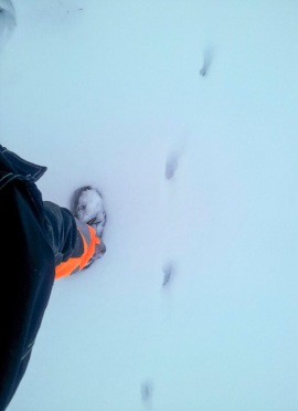 Räven har vandrat genom Lärjeåns trädgårdar. Foto: Tomas Bodling
