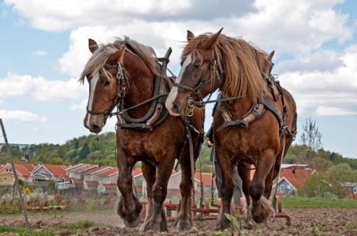 De ståtliga ardennerhästarna från Hästdroskans Naturbruk. Foto Isolde Berner