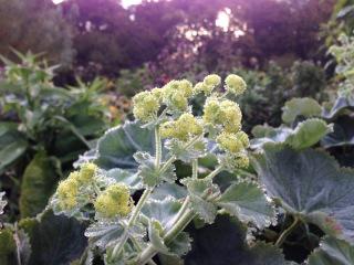 Nyfrostad grönska en tidig septembermorgonen. Foto: Ingela Mölne