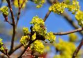 Ett av våra (?) bin fyller på i lönnens blommor. Foto: Monika Lindqvist