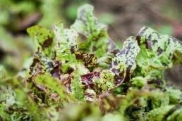 """Plocksallat, """"Flashy Green Butter Oak"""". Foto: Johanne Pernklint"""