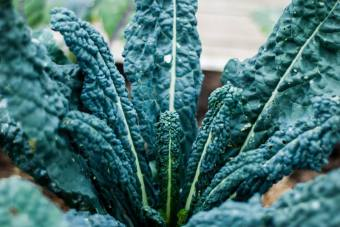 Palmkål/Svartkål av sorten 'Nero di Toscana'. Äts på samma sätt som grönkål och kommer gå att skörda ända till januari. Foto: Johanne Pernklint