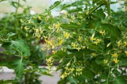 Körsbärstomaten Gelbe Dattelwein kan ge uppemot 1000 gula, droppformade tomater per planta! Än så länge har inte frukterna mognat men det ser minst sagt lovande ut. Foto: Johanne Pernklint