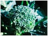 Ekologiskt odlad broccoli från Lärjeån. Foto: Lydia Söderberg