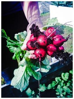 Får det lov att vara ett knippe eko-odlade rädisor? Foto: Lydia Söderberg