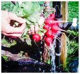Våra rädisor kommer i flera olika former och storlekar. Foto: Lydia Söderberg