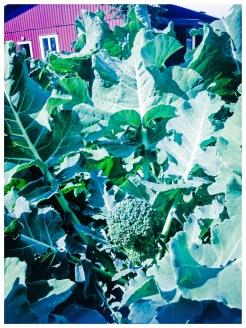 Den obesprutade broccolin växer just nu för fullt. Foto: Lydia Söderberg