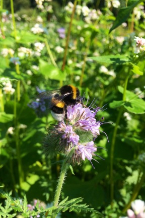Mörk jordhumla på honungsfacelia. Foto: Magnus Lundström