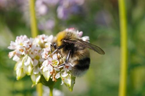 Ljus jordhumla på både blommande honungsfacelia. Foto: Magnus Lundström