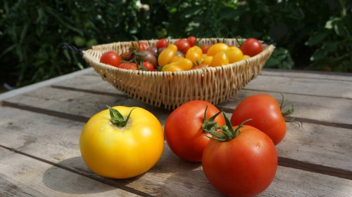 Lärje tomater_Katrine Hannermalm