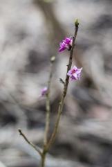 I örtagården blommar tibast på bar kvist. Lätt att missa! Foto: Johanne Pernklint