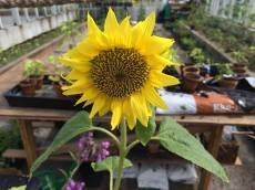 I växthuset skiner i alla fall solen... Foto: Johanne Pernklint